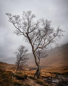 Winter birch, Glen Etive, Scotland