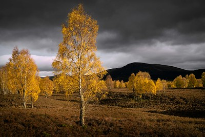 Autumn birch, Cairngorm, Scotland