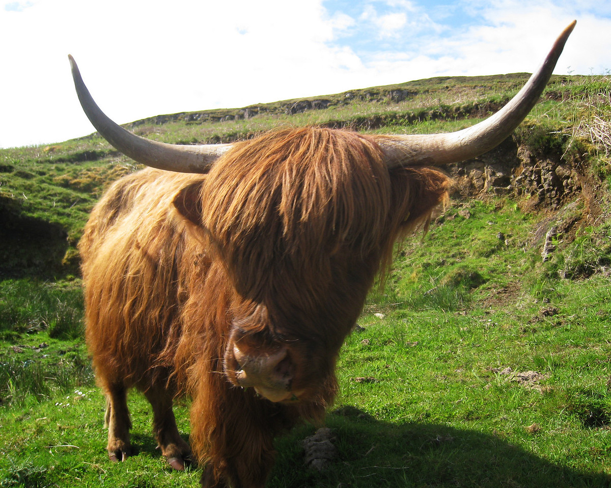 "Highland Cattle ""coo"""