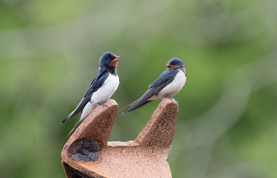 Swallows atop an old fishing boat, Isle of Mull
