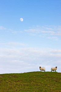 Sheep Moonrise, Glen Gorm