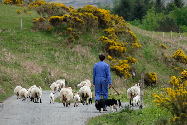A shepherd and his flock, Isle of Mull