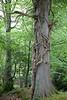 Ballyseedy Wood, Tralee, Ireland IMG_0890