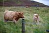 Scottish Highland Cow IMG_1388