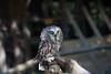 Saw Whet Owl, Birdsacre IMG_2892