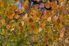Aspen Leaves, South Fork, CO IMG_8312
