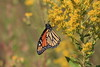 Monarch Butterfly IMG_7495