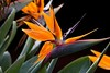 Bird of Paradise IMG_0535