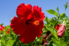 Hibiscus IMG_8984