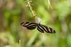 Zebra Longwing Butterfly IMG_2777