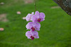 Orchid IMG_7374