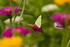 Sulfur Butterfly IMG_6915
