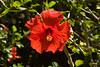 Hibiscus IMG_1734