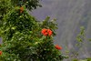 African Tulip IMG_0337