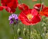 Poppy IMG_0123 rev 1