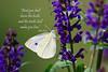 Sulphur Butterfly on Purple Salvia