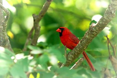 Male Cardinal Saint John, NB Canada