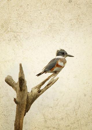 Female Belted Kingfisher Viera Wetlands, FL