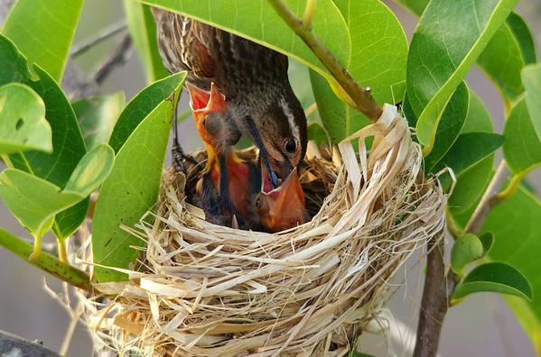 Red-Winged Blackbird Mom and chicks Wakodahatchee Wetlands, Delray Beach FL