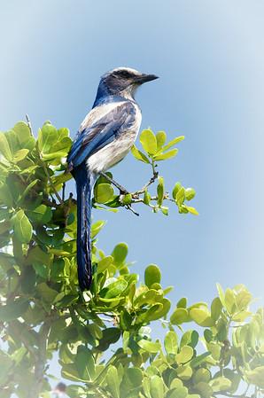Florida Scrubjay Merritt Island NWR