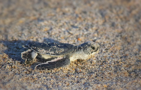 at first light! Green Sea Turtle Hatchling's journey home (endangered) Archie Carr National Wildlife Refuge, Melbourne Beach FL