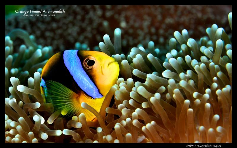 Orange finned anemonefish