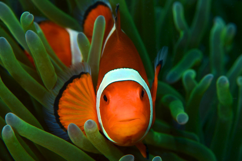 Clown anemonefish, Puerta Gallera, Philippines