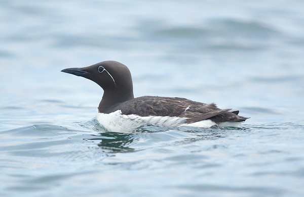 Bridled Guillemot Machias Seal Island, NB Canada