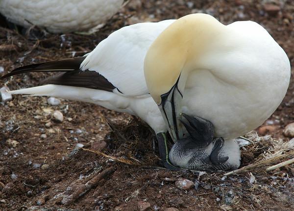 Northern Gannet adult with chick Bonaventure Island, Quebec CANADA