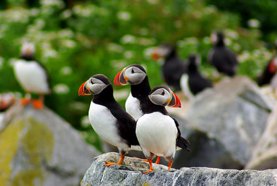 3 Atlantic Puffins, Machias Seal Island, Grand Manan, NB Canada