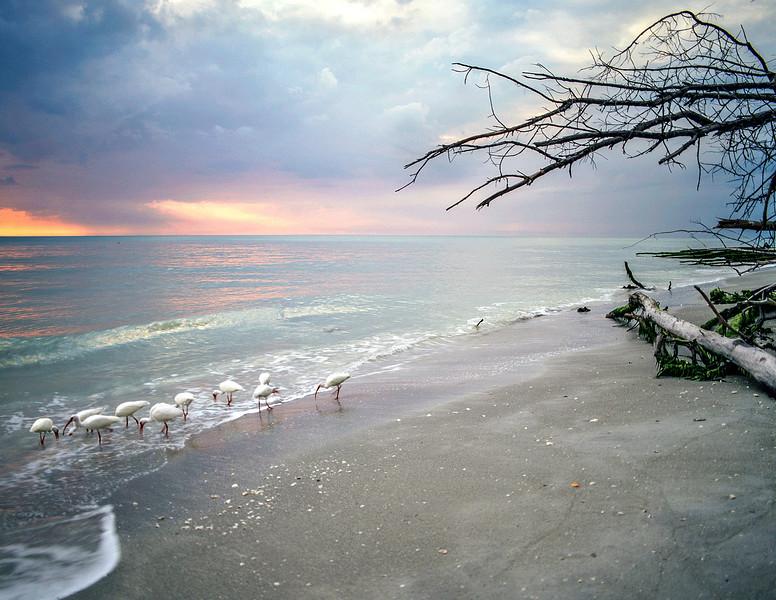 White Ibis, Passing Storm, Gulf of Mexico, Florida