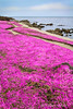 Shoreline in bloom 2- Pacific Grove