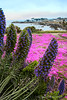 Shoreline in bloom 1- Pacific Grove