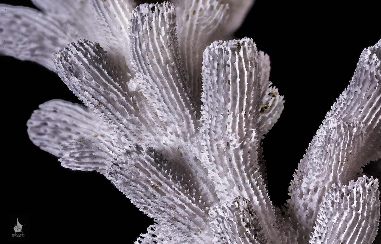 Acropora sp coral skeleton close-up
