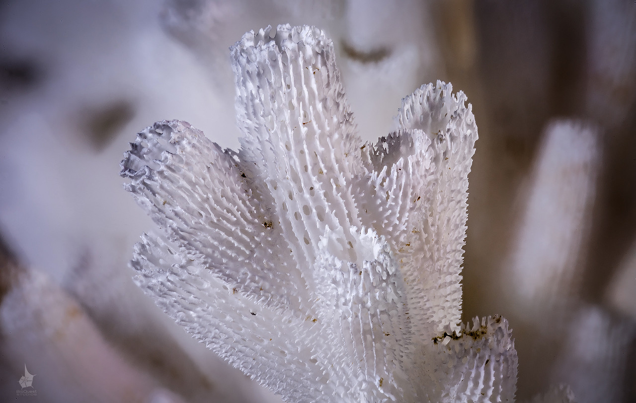 Acropora sp skeleton close-up