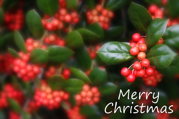 Red Holly Berries with Soft Focus Effect - Merry Christmas