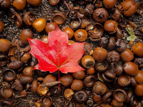 Leaf With Acorns (jpeg)