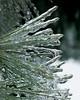 Pine Needles (jpeg)_-2