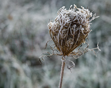 Frosty Queen Annes Lace 01-1020253-2-2-2