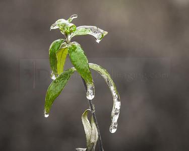 Ice on Leaves 01 (jpeg)_-2