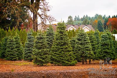 The Colors of Fall  ..... a Christmas tree plantation  © Copyright Hannah Pastrana Prieto