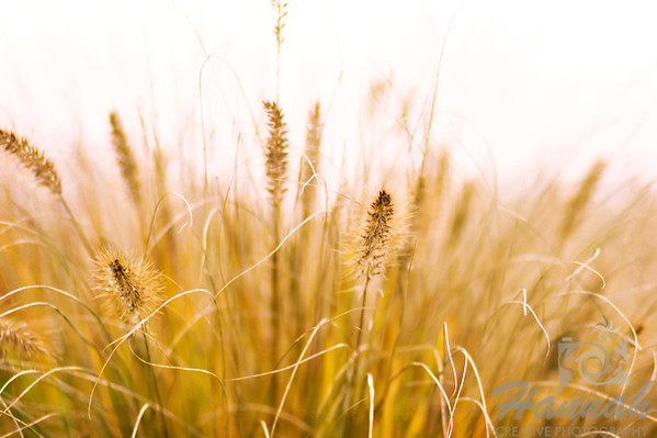 The Colors of Fall  ..... dried wheat grass ..... a Lensbaby Composer Pro image  © Copyright Hannah Pastrana Prieto