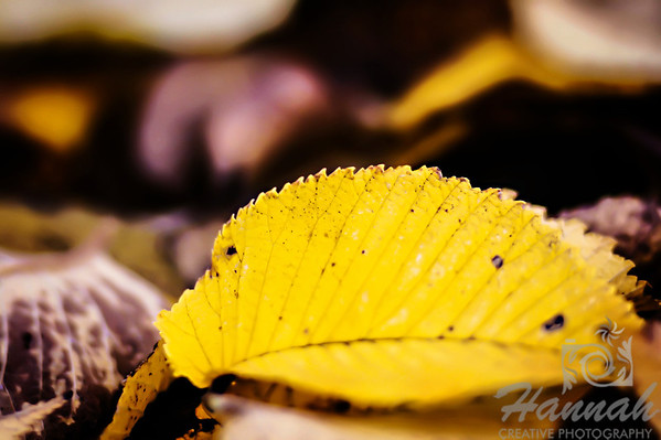 The Colors of Fall  ..... a yellow dried leaf ..... a Lensbaby Composer Pro image  © Copyright Hannah Pastrana Prieto