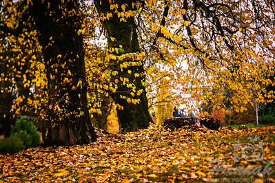 The Colors of Fall  ..... Trees with yellow dried leaves  © Copyright Hannah Pastrana Prieto