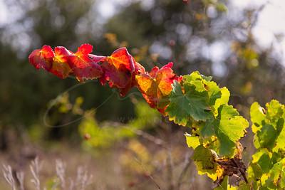 la vigne sauvage | wild grapevine