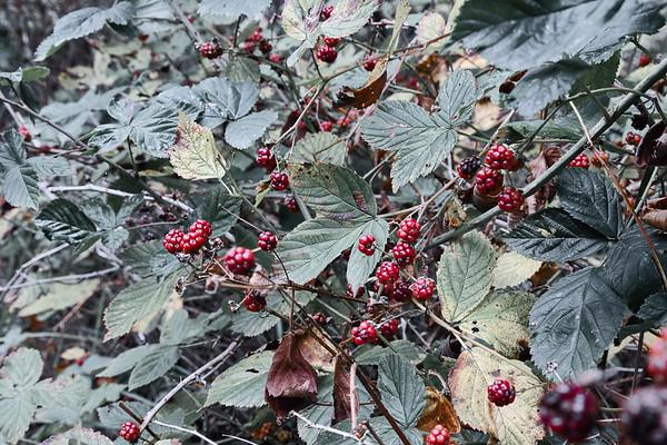 framboises sauvages | wild raspberries