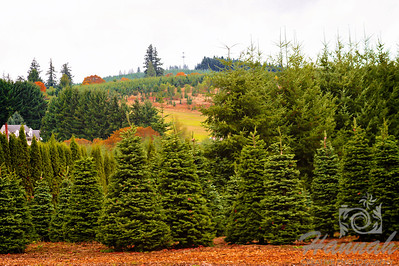 The Colors of Fall  ..... Vast rolling hills and a Christmas tree plantation  © Copyright Hannah Pastrana Prieto