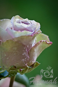 Single Pink Lavender Rose with Magenta Streaks on the Edges and Water Droplets, Side Shot, Macro Shot for Fine Arts   © Copyright Hannah Pastrana Prieto