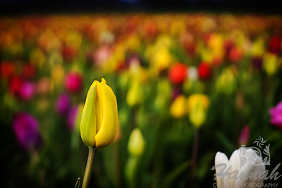 Close-up of a yellow tulip bud taken at Wooden Shoe Tulip Farm in Woodburn, OR  © Copyright Hannah Pastrana Prieto