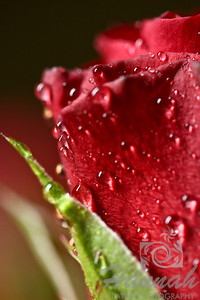 Red Rose with water droplets  © Copyright Hannah Pastrana Prieto